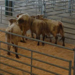 Le marché au cadran bovins
