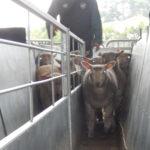 Le marché au cadran des ovins - Trier les animaux en différents lots