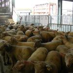 Le marché au cadran des ovins - chargements camions Acheteurs